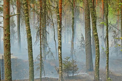the smoke from the fire spread along the ground in a pine forest Wallpaper Mural