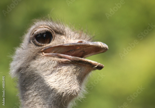Wall Murals Ostrich ostrich