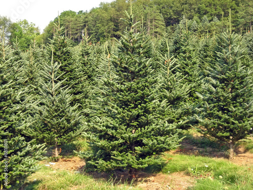 Fotografija  A Christmas tree farm in the summertime.