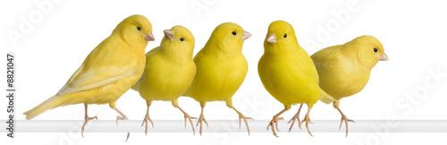 Fotografia  Flock of Yellow canary