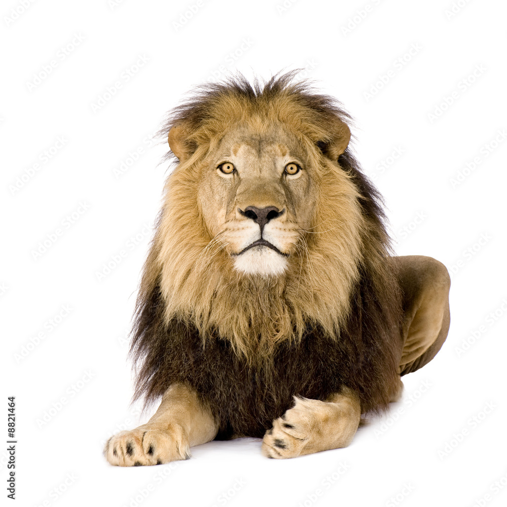 Fototapeta Lion (4 and a half years)
