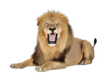 Lion In Front Of A White Background