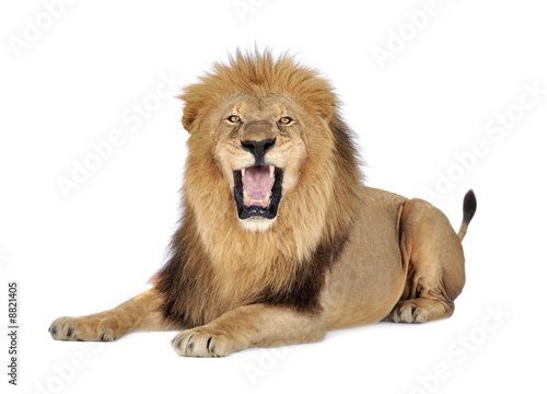 Staande foto Leeuw Lion in front of a white background