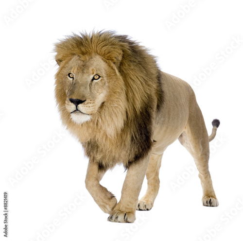 Poster Lion Lion (8 years) - Panthera leo in front of a white background