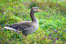 Greylag Goose Standing In A Field