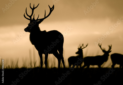 Leader Of The Herd (Red Deer Cervus Elaphus) Wallpaper Mural