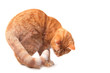 canvas print picture - ginger cat on the white background