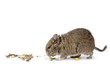 canvas print picture - degu with food