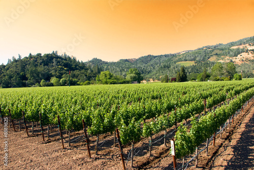 A vineyard in the wine growing region of Napa in California.