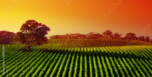 Photo sur Aluminium Vignoble Beautiful Vineyard Landscape with large gum tree