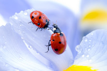 Flower Petal With Ladybug.
