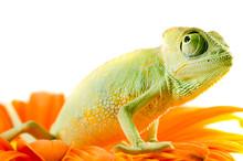 Chameleon On Flower. Isolation...