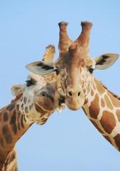 Panel Szklany Żyrafa Giraffe couple in love with blue sky on background