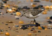 Semipalmated Sandpiper On A Pebbled Beach.