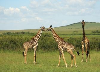 Fototapeta Żyrafa Three African giraffe in Masai Mara Kenya Africa.