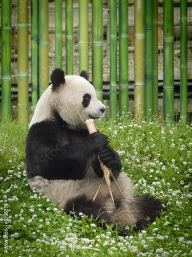 Oso Panda Canvas Print
