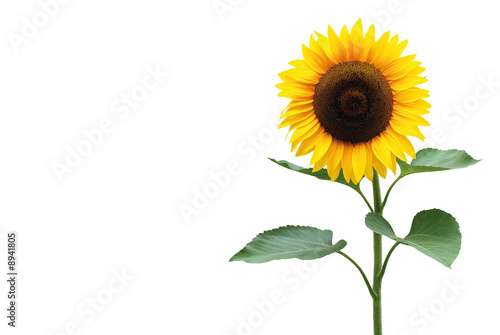 La pose en embrasure Tournesol Sonnenblume