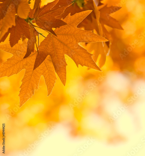 Foto-Kissen - autumn leaves, very shallow focus (von javarman)