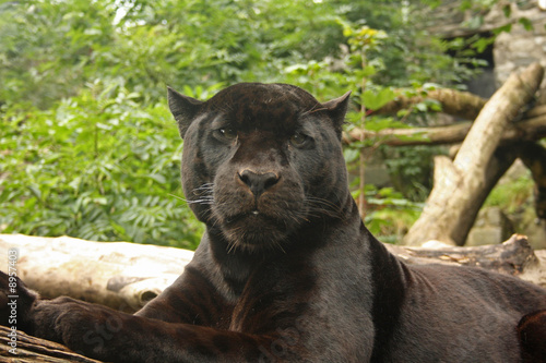 Photo  photo of a black panther