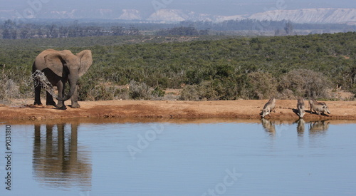 Elephant and Warthogs drinking together at the waterhole. Canvas Print