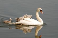 Swan Carries Chicks Piggyback