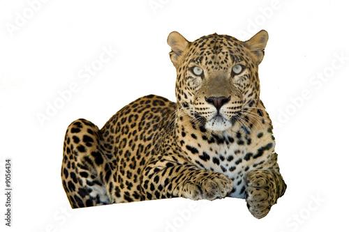 Photographie  léopard