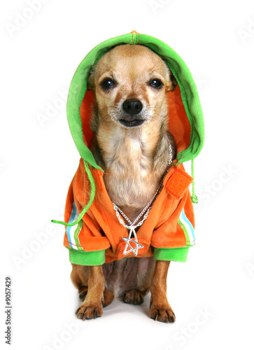 Fotografering  chihuahua with some bling and a jacket