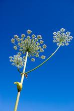 Years Landscape .Apiaceae (Umbelliferae).