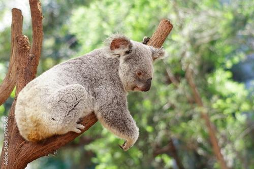 Photo Stands Koala Koala
