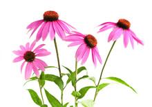 Blooming Medicinal Herb Echina...