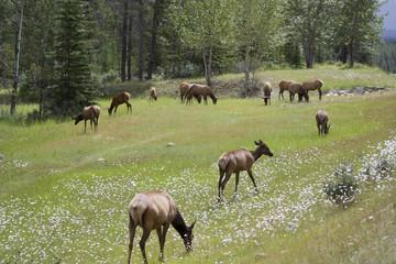 Naklejka na ściany i meble Herd of elk grazing on a meadow
