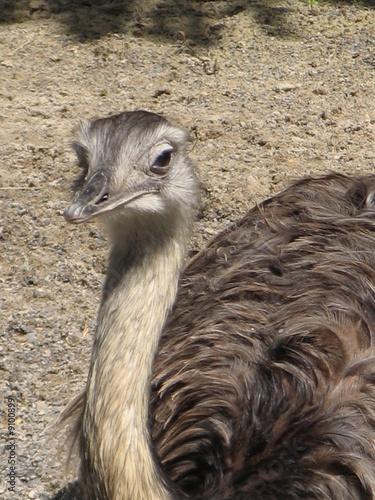 Fotobehang Struisvogel autruche