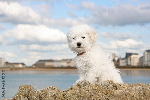 Fényképezés  A cute bichon frise puppy at the sea