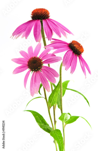 kwitnace-ziolo-lecznicze-echinacea-purpurea