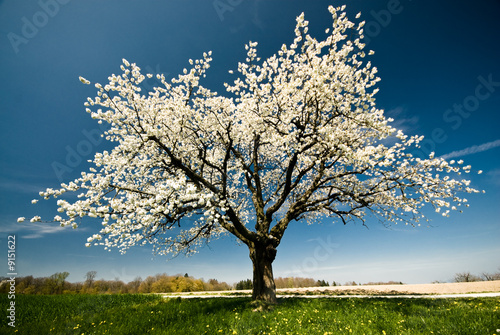 Foto-Duschvorhang - Single blossoming tree in spring.