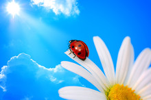 Ladybird  On Daisy Against Blue Sky With Sun