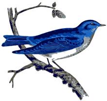 America Mountain Bluebird.