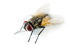 Close Up Of A Fly Isolated On ...