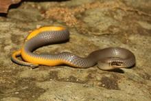 Ring-necked Snake (Diadophis P...
