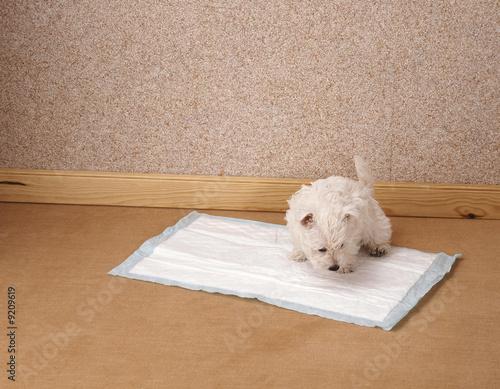 Fotografía  chiot westie sur tapis de propreté