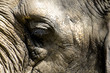 Elefantenauge