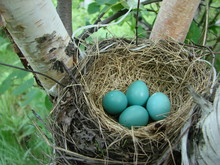 Blue Robbins Eggs In The Nest ...