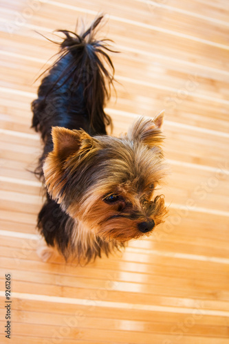 Photographie funny dwarf terrier on the bamboos mat