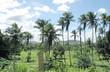 Cocotiers dans les prés. Brésil.