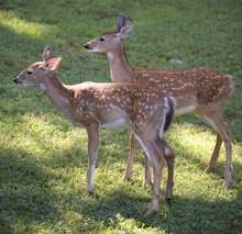 Whitetail Fawns Out On Grass At Dawn