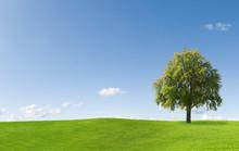 Pear Tree On A Meadow Against A Blue Sky