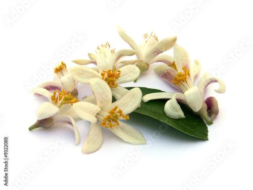 Vászonkép fleurs et feuille d'oranger