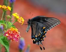 Black Swallowtail Butterfly In Motion