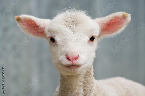 Carta da parati a very cute and adorable few day old lamb