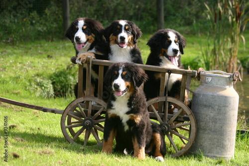 Poster de jardin Vache bouvier bernois quadruplés prêt pour une promenade en charrette